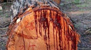 А вы когда нибудь видели дерево у которого есть кровь?